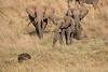 Elephants_Confront_Hyena_Rekero_Mara_Reserve_2018_Kenya_0006