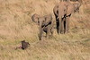 Elephants_Confront_Hyena_Rekero_Mara_Reserve_2018_Kenya_0028
