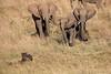 Elephants_Confront_Hyena_Rekero_Mara_Reserve_2018_Kenya_0009