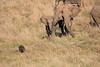Elephants_Confront_Hyena_Rekero_Mara_Reserve_2018_Kenya_0037