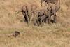 Elephants_Confront_Hyena_Rekero_Mara_Reserve_2018_Kenya_0011