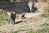 Elephants_Run_To_Mara_River_Tangulia_Mara_Reserve_2018_Kenya_0013