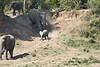 Elephants_Run_To_Mara_River_Tangulia_Mara_Reserve_2018_Kenya_0006