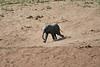 Elephants_Run_To_Mara_River_Tangulia_Mara_Reserve_2018_Kenya_0017
