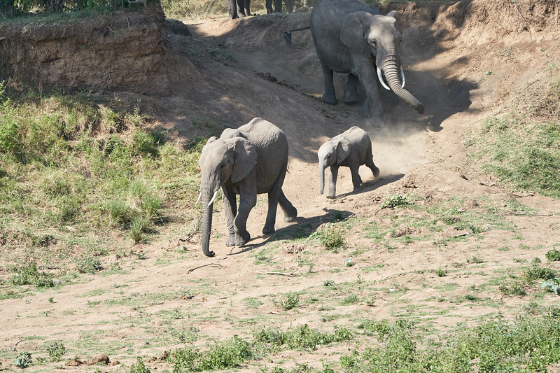 Elephants_Run_To_Mara_River_Tangulia_Mara_Reserve_2018_Kenya_0001