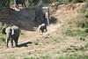 Elephants_Run_To_Mara_River_Tangulia_Mara_Reserve_2018_Kenya_0008