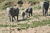 Elephants_Run_To_Mara_River_Tangulia_Mara_Reserve_2018_Kenya_0014