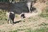 Elephants_Run_To_Mara_River_Tangulia_Mara_Reserve_2018_Kenya_0011