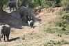 Elephants_Run_To_Mara_River_Tangulia_Mara_Reserve_2018_Kenya_0004