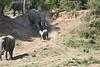 Elephants_Run_To_Mara_River_Tangulia_Mara_Reserve_2018_Kenya_0005
