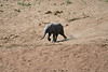 Elephants_Run_To_Mara_River_Tangulia_Mara_Reserve_2018_Kenya_0020