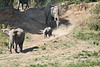 Elephants_Run_To_Mara_River_Tangulia_Mara_Reserve_2018_Kenya_0009