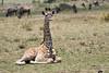 Giraffe_Marsh_Tangulia_Mara_Reserve_2018_Kenya_0008