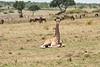 Giraffe_Marsh_Tangulia_Mara_Reserve_2018_Kenya_0009