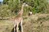 Giraffe_Marsh_Tangulia_Mara_Reserve_2018_Kenya_0018