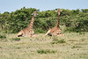 Giraffe_Marsh_Tangulia_Mara_Reserve_2018_Kenya_0011