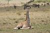 Giraffe_Marsh_Tangulia_Mara_Reserve_2018_Kenya_0002