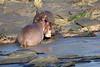 Hippo_Faceoff_Mara_River_Elephant_Pepper_2018_Kenya_0052