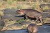 Hippo_Faceoff_Mara_River_Elephant_Pepper_2018_Kenya_0023