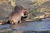 Hippo_Faceoff_Mara_River_Elephant_Pepper_2018_Kenya_0044