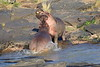 Hippo_Faceoff_Mara_River_Elephant_Pepper_2018_Kenya_0053