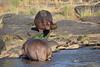 Hippo_Faceoff_Mara_River_Elephant_Pepper_2018_Kenya_0025