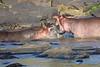 Hippo_Faceoff_Mara_River_Elephant_Pepper_2018_Kenya_0087
