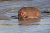 Hippo_Faceoff_Mara_River_Elephant_Pepper_2018_Kenya_0003