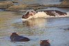 Hippo_Faceoff_Mara_River_Elephant_Pepper_2018_Kenya_0010