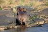Hippo_Faceoff_Mara_River_Elephant_Pepper_2018_Kenya_0036