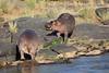 Hippo_Faceoff_Mara_River_Elephant_Pepper_2018_Kenya_0026
