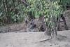 Hyena_Den_Tangulia_Mara_Reserve_2018_Kenya_0049