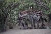 Hyena_Den_Tangulia_Mara_Reserve_2018_Kenya_0033