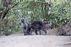 Hyena_Den_Tangulia_Mara_Reserve_2018_Kenya_0002