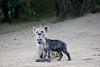 Hyena_Den_Tangulia_Mara_Reserve_2018_Kenya_0015