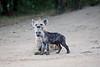 Hyena_Den_Tangulia_Mara_Reserve_2018_Kenya_0016