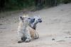 Hyena_Den_Tangulia_Mara_Reserve_2018_Kenya_0011