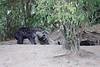 Hyena_Den_Tangulia_Mara_Reserve_2018_Kenya_0004