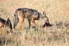 Jackal_Adults_Eating_Elephant_Pepper_MaraNorth_2018_Kenya_0010