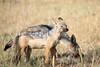 Jackal_Adults_Eating_Elephant_Pepper_MaraNorth_2018_Kenya_0022