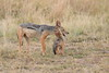 Jackal_Pups_Rekero_Mara_Reserve_2018_Kenya_0031