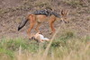 Jackal_Pups_Rekero_Mara_Reserve_2018_Kenya_0006