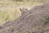 Jackal_Pups_Rekero_Mara_Reserve_2018_Kenya_0019