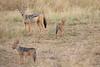 Jackal_Pups_Rekero_Mara_Reserve_2018_Kenya_0024