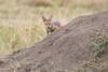 Jackal_Pups_Rekero_Mara_Reserve_2018_Kenya_0020