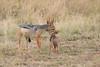 Jackal_Pups_Rekero_Mara_Reserve_2018_Kenya_0027