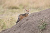 Jackal_Pups_Rekero_Mara_Reserve_2018_Kenya_0014