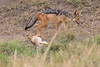 Jackal_Pups_Rekero_Mara_Reserve_2018_Kenya_0007