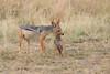 Jackal_Pups_Rekero_Mara_Reserve_2018_Kenya_0028