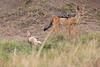 Jackal_Pups_Rekero_Mara_Reserve_2018_Kenya_0008